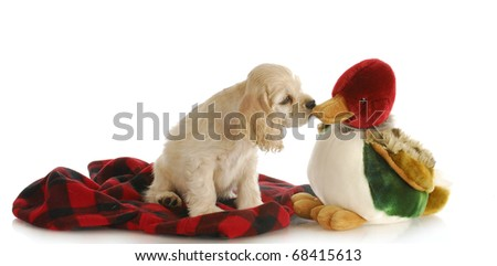 hunting dog - adorable cocker spaniel puppy sniffing stuffed duck on white background