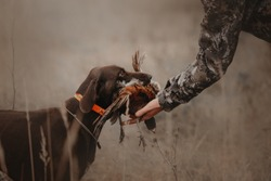 hunting dog brings pheasant game back to owner