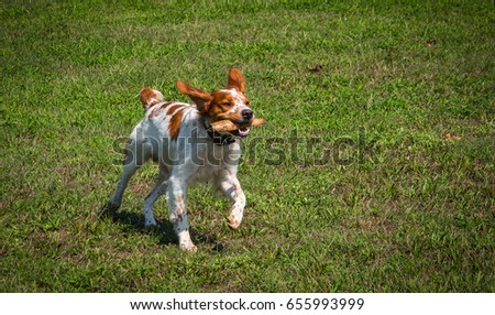 hunting dog Brittany Spaniel runs through a meadow, carrying a stick