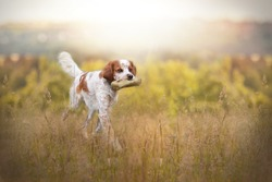 Hunting dog carries dummy in its mouth