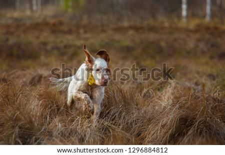 Hunting dog. English setter. Woodcock hunting. Hunting dog runs on the dried grass. #1296884812
