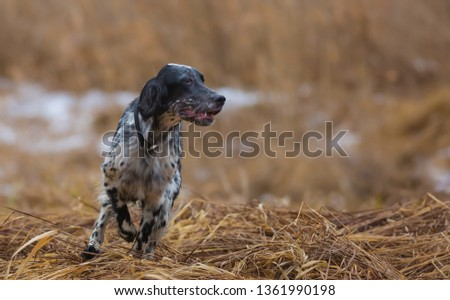 Hunting dog. English setter. Woodcock hunting. Hunting dog runs on the dried grass. #1361990198