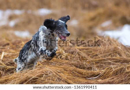 Hunting dog. English setter. Woodcock hunting. Hunting dog runs on the dried grass. #1361990411
