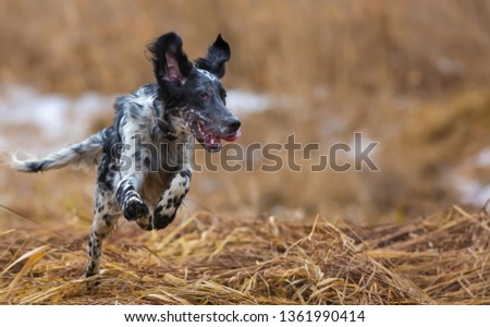 Hunting dog. English setter. Woodcock hunting. Hunting dog runs on the dried grass. #1361990414