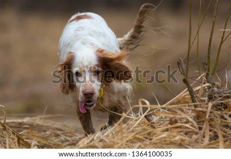 Hunting dog. English setter. Woodcock hunting. Hunting dog runs on the dried grass. #1364100035