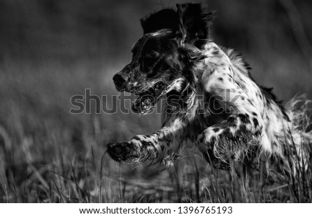 Hunting dog. English setter. Woodcock hunting. Hunting dog runs on the dried grass. #1396765193