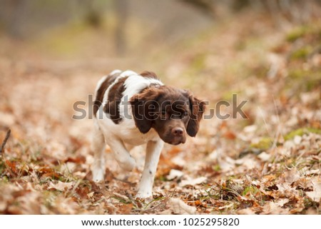 hunting dog epagneul breton on the hunt in a beautiful forest #1025295820