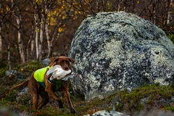 Hunting dog fetching grouse during Autumn hunt