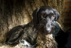 Hunting dog German Wirehaired Pointer (Deutsch Drahthaar) sitting on a chair covered with fur
