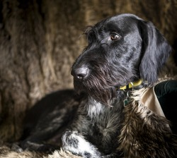 Hunting dog German Wirehaired Pointer (Deutsch Drahthaar) sitting on a chair covered with fur looking to the side