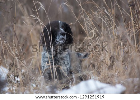 Hunting dog. Hunting with a dog. Russian hunting spaniel. #1291251919