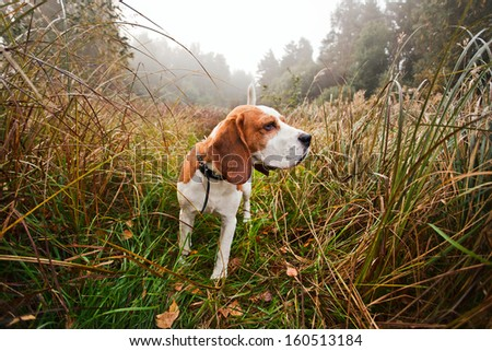 Hunting dog in the foggy morning in forest #160513184