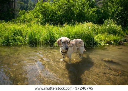 Hunting Dog, Labrador Retriever in a river with pine trees in the background