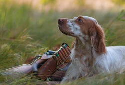 Hunting dog. Pointing dog. English setter. Hunting.  Portrait of a hunting dog with trophies.  On hemp the gun, cartridges and trophies lie. Real hunt