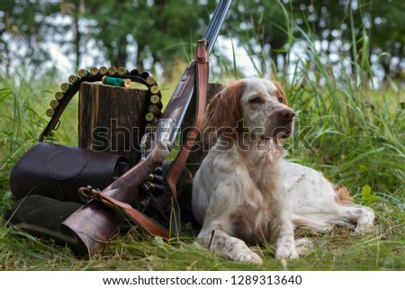 Hunting dog. Pointing dog. English setter. Hunting.  Portrait of a hunting dog with trophies.  On hemp the gun, cartridges and trophies lie. Photos of real hunting.