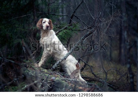 Hunting dog.  Pointing dog. English setter. Portrait of an English setter on a real hunt. #1298588686