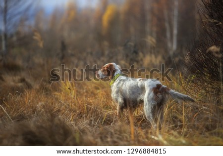 Hunting dog. Pointing dog. English setter. Woodcock hunting. Hunting dog runs on the dried grass. #1296884815