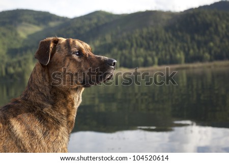 Hunting dog ready to retrieve your shot