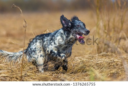 Hunting dog running across the field on the hunt. English setter.  #1376265755
