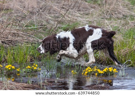 hunting dog spaniel on the bird hunt #639744850