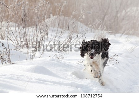 Hunting dog walk on a winter
