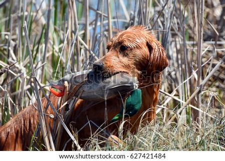 Hunting Dog Water Fowl  Training with Bumper #627421484