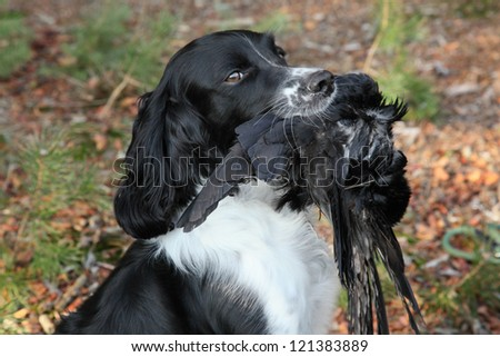 hunting dog with crow during hunting training