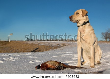 hunting dogs 1st pheasant - stock photo