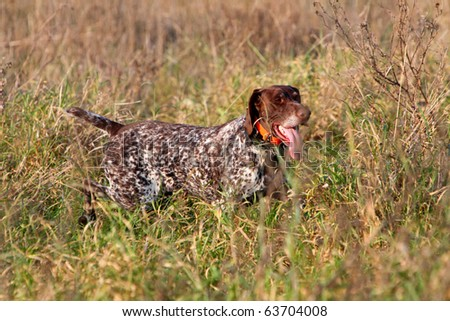 Hunting German shorthaired pointer #63704008