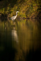 Hunting Grey heron on an old stump in the middle of a pond, Ardea cinerea, Czech Republic
