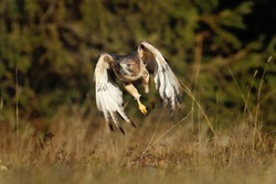 Hunting hawk at sunrise. Red-tailed hawk (Buteo jamaicensis) flying over meadow in forest. Majestic bird of prey in flight. Wildlife scene from nature. Habitat North America.