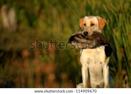 Hunting Labrador Retriever dog #114909670