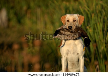 Hunting Labrador Retriever dog #114909673