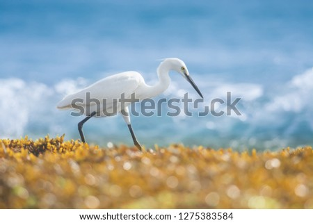 Hunting Little egret on the sea coast, close up, Egretta garzetta, Tangalle, Sri Lanka, Asia
