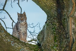 Hunting lynx. Young Eurasian lynx, Lynx lynx, sits on old tree and looking for prey. Cute wild cat in winter nature. Beast of prey in natural habitat. Beautiful animal with spotted orange fur.