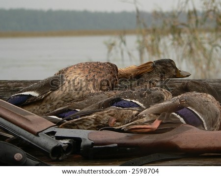 Hunting on duck's in lake. - stock photo