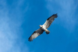Hunting Osprey, Byron Bay Australia