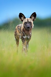 Hunting painted dog on African safari. Wildlife scene from nature. African wild dog, walking in the green grass, Okacango deta, Botswana, Africa. Dangerous spotted animal with big ears.