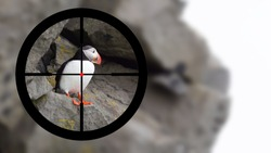 Hunting: Puffin in it's natural environment in the crosshairs