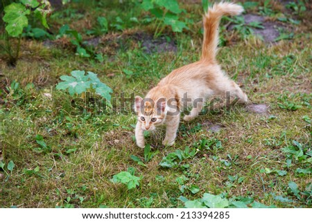 Hunting red cat among a grass