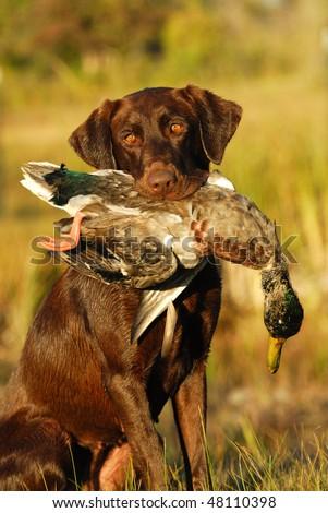 Hunting Retriever #48110398