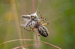 Hunting Spider - Cross Spider