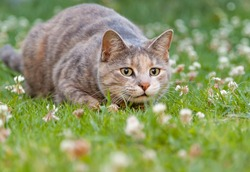 Hunting tortoiseshell-tabby cat alert, wide-eyed and ready to pounce