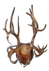 Hunting trophy. Antlers of a reindeer (Rangifer tarandus), mounted on a wooden plate isolated on white background