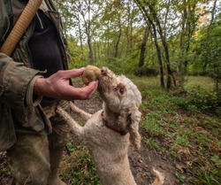 Hunting truffles, a dog just found a rare white truffle in autumn forest. Delicious food