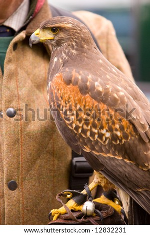 Hunting with a Harris Hawk