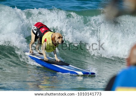 Huntington Beach, CA - September 23, 2017: Surf City Surf Dog Surfing Competition #1010141773