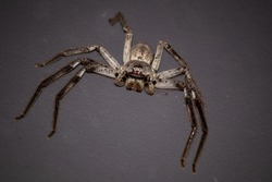 Huntsman Spider on a wall. Eight hairy legs. Color brown and grey. The two back pairs of legs are shorter than the ones at the front. Neutral background.  Nitmiluk, Northern Territory, Australia