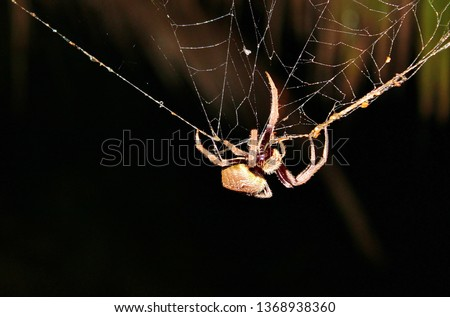Huntsman spider on web Australian spider large on wet web stock, photo, photograph, image, picture