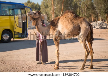 HURGHADA, EGYPT - APR 10: Unidentified arabic man with camel on the local bus station near Hurghada on 10 Apr 2013. This bus station is tourist attraction on the way to Luxor.